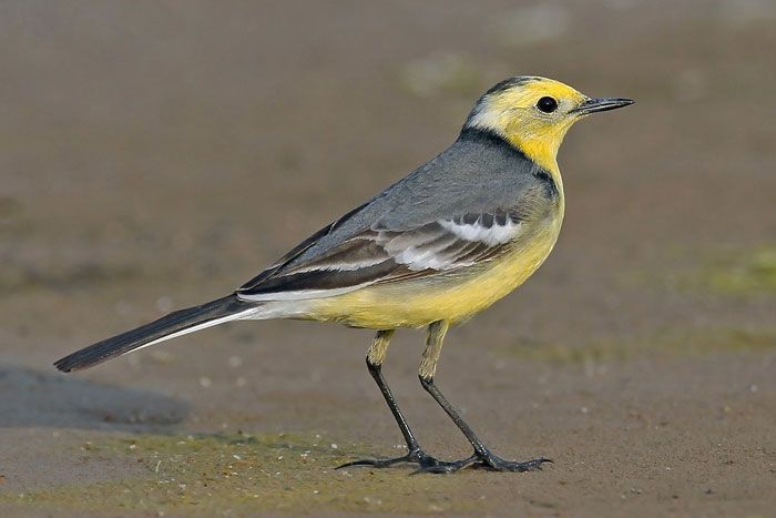 Swiss Ornithological Institute Sempach – Citrine Wagtail – Birds