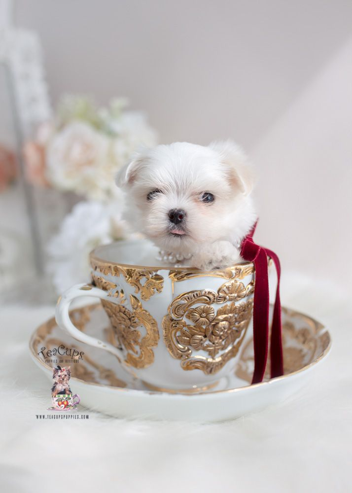 Teacup Maltese And Toy Maltese Puppies Florida With Images