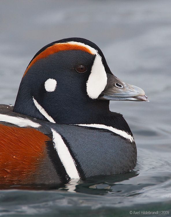 Harlequin Showing its Tongue by Axel Hildebrandt on 500px