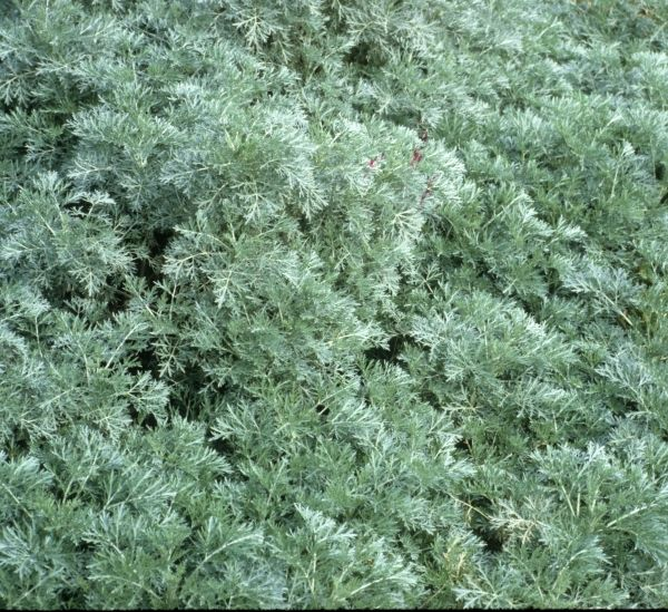 Wormwood (Artemisia 'Powis Castle') good with Tiger Stripe Solomon Seal. all zone 4