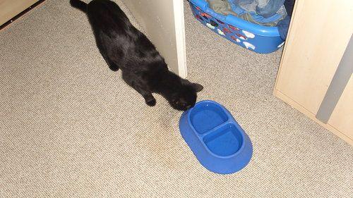 Schwarze Katze trinkt