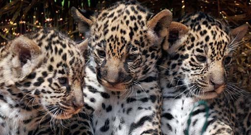 jaguar animal