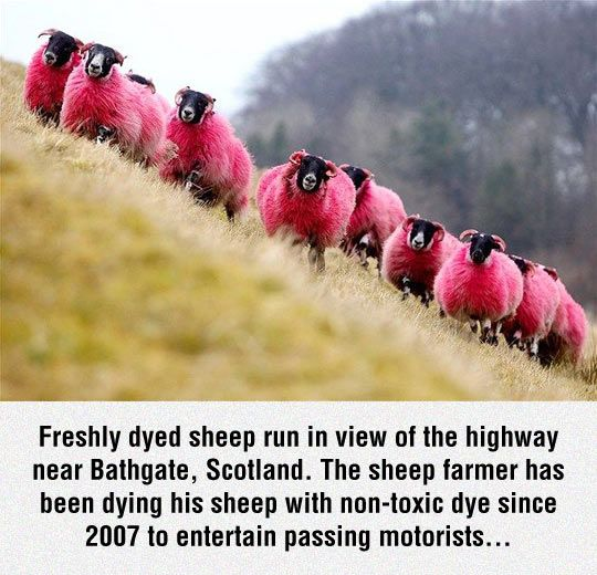 Pink Sheep for your entertainment! Only in Scotland! Laat my aan julle eenstuk pakkie dink!!!!