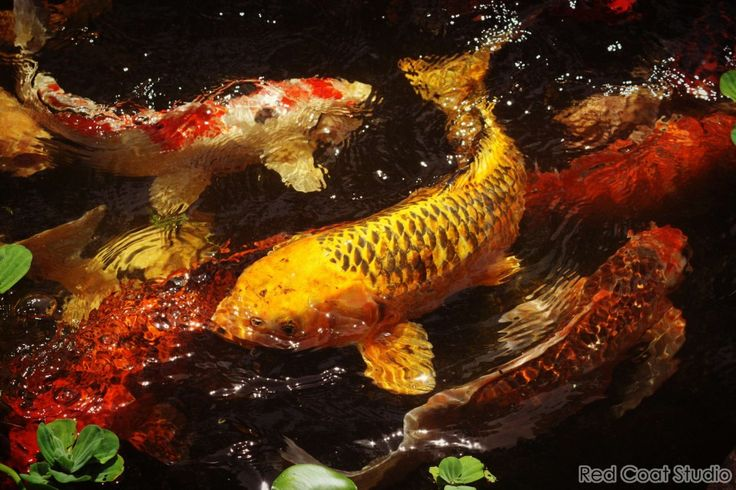113 best images about japanese koi ponds on pinterest for Koi fish maintenance