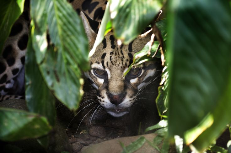 Did you know there are five species of big cats that roam La Amistad International Park in Costa Rica?