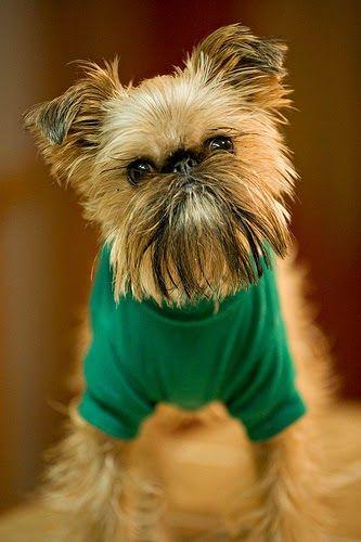 17 Best Ideas About Hypoallergenic Dog Breed On Pinterest