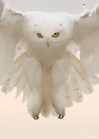 Burung hantu salju siap menerkam mangsanya!