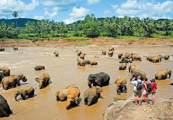 Слоновий питомник в окрестностях Канди. Шри-Ланка