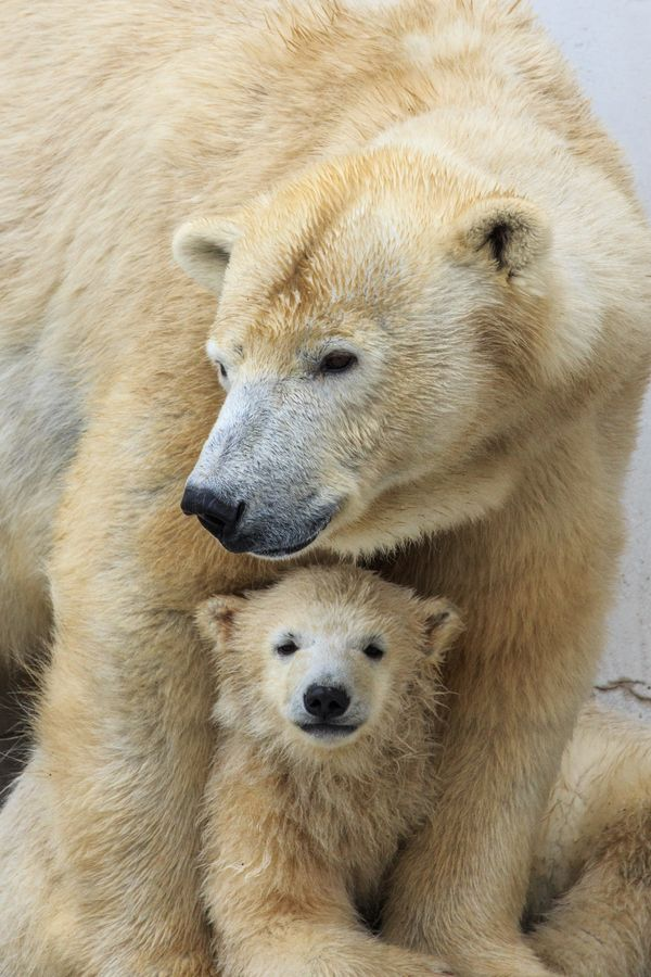 ~~Big Mama ~ Polar Bear Cub protected by its Mama by SAM~~