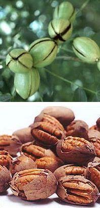 Pekándió - magonc (~40cm) - (Carya illinoinensis): Lombos fák, cserjék | Ár: 6000.00 Ft