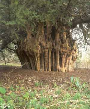The Anerwycke Yew, Runnymede, Berkshire. Over 2,000 years old and said to be the place where King John signed the Magna Carta in 1215.