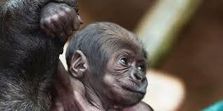 """Résultat de recherche d'images pour """"gorille blanc bebe"""""""