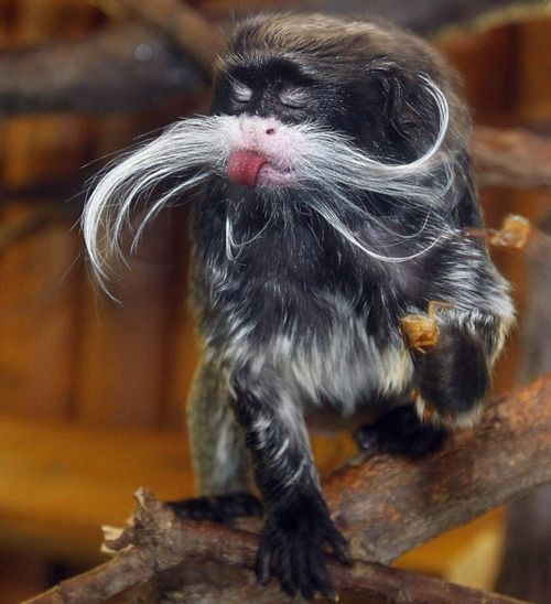 Sassy...love the moustache!Real Life, The Lorax, The Real, Emperor Tamarin, Whiskers, Sticks, Funny, Animal, Mustaches Monkeys