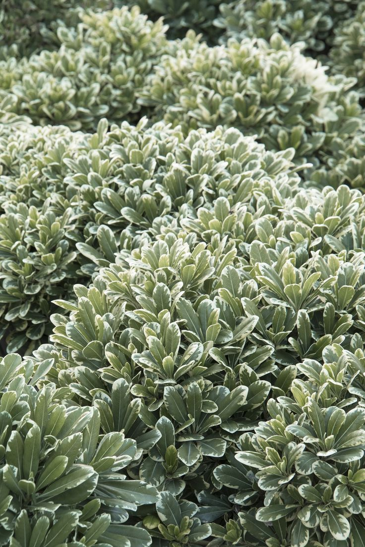 Glossy mint green leaves with creamy-white edges held on a tightly branched mound produce a fine accent, lovely low hedge or fill-in plant for borders. Dense, compact form requires little maintenance. Evergreen. Full to partial sun. Slow-growing to only 2 to 2½ feet tall and wide. Cutting grown.