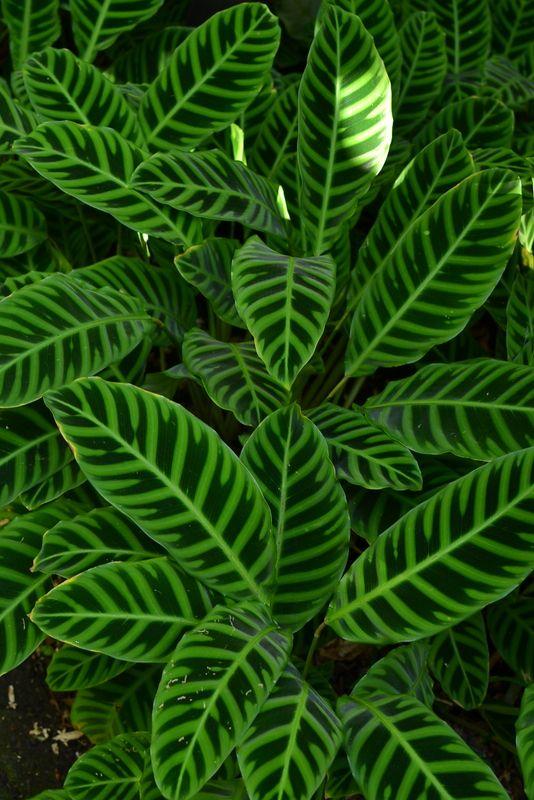 53 best images about calathea prayer plant on pinterest Calathea plants for sale