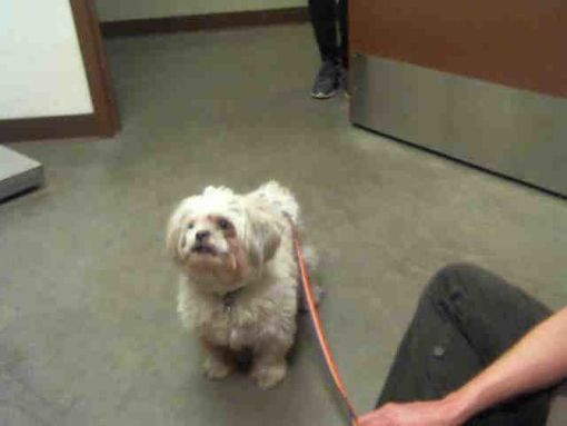 Phoenix Az Shih Tzu Meet Gismo A Dog For Adoption Pets