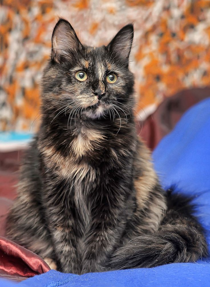 Tortoiseshell Cat Over 30 Fascinating Facts About Tortie