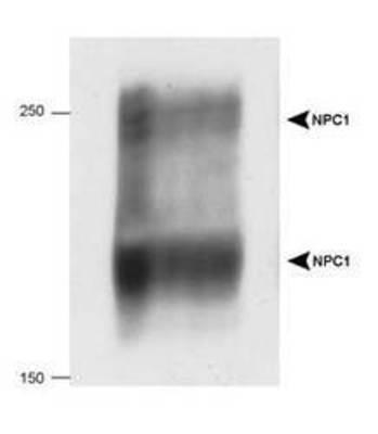 Western Blot: Niemann Pick C1 antibody [NB400-148] - Detection of human NPC1 in 20 ug of human fibroblast cell lysate using NB 400-148.