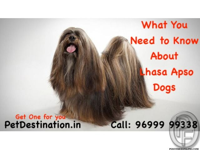 What You Need To Know About Lhasa Apso Dogs Call 96999 99338 In Mumbai Maharashtra India In Pet Animals And Accessories Category Und Lhasa Apso Lhasa Dogs