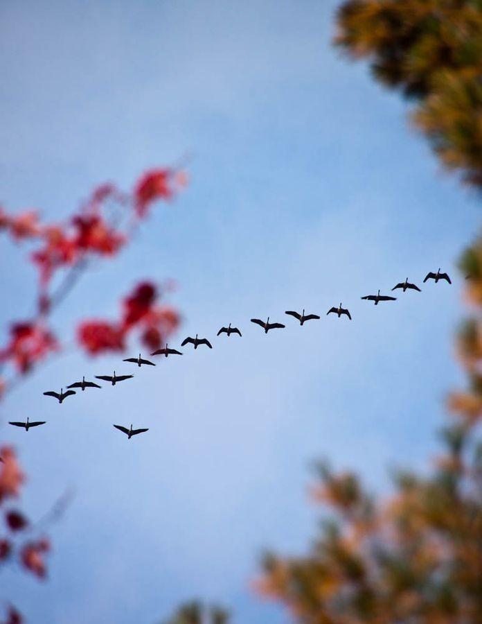 Migration of gooses. Quebec, Canada. October 2012