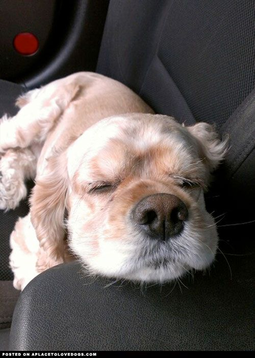 kichi0306:  aplacetolovedogs:  Sweet Cocker Spaniel puppy got so sleepy on the car ride For more cute dogs and puppies  縫いぐるみ~♡