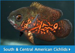 South & Central American Cichlids | thatpetplace.com