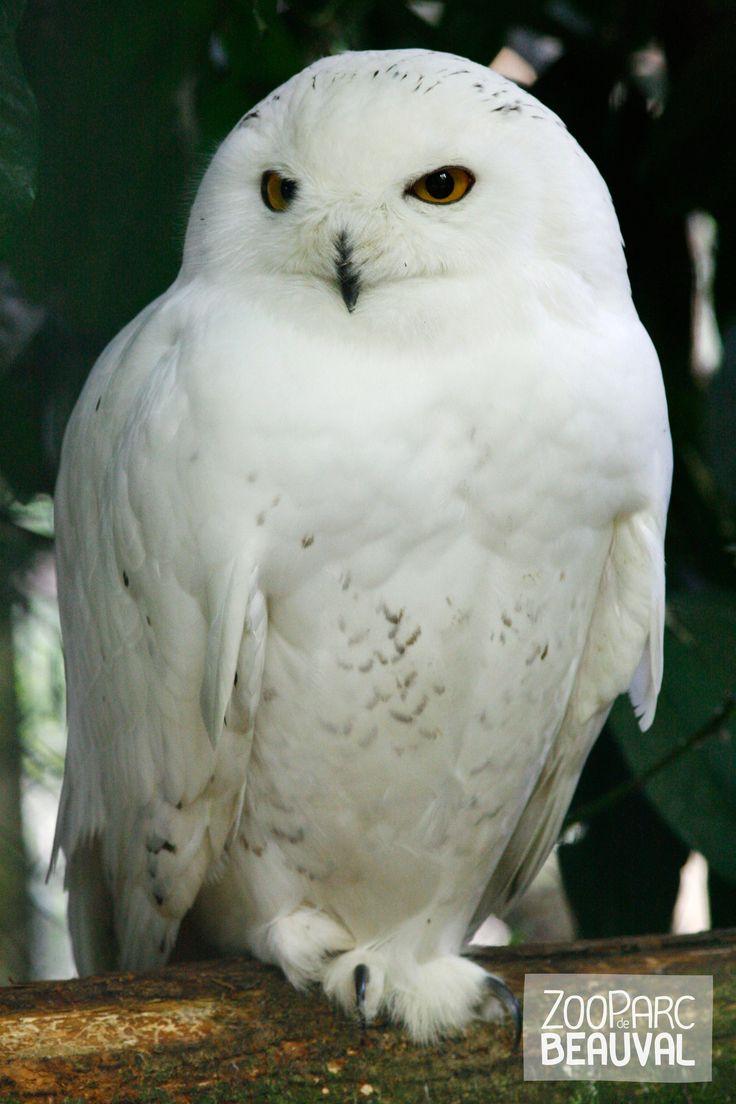 L'Harfang des neiges, est parfois appelée à tort chouette Harfang. C'est en fait un hibou ! En effet, l'Harfang des neiges possède les aigrettes caractéristiques des hiboux. Il s'agit de petites plumes permettant aux oiseaux d'exprimer leurs humeurs.
