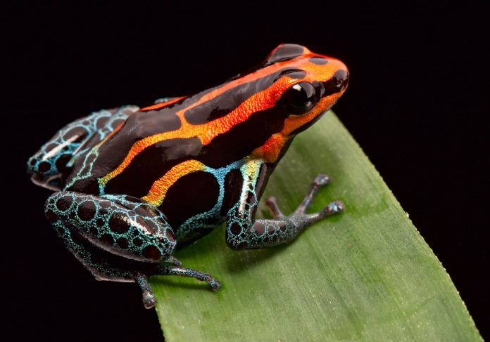 Poison Dart Frogs Are Pretty But Deadly Rainforest Animals