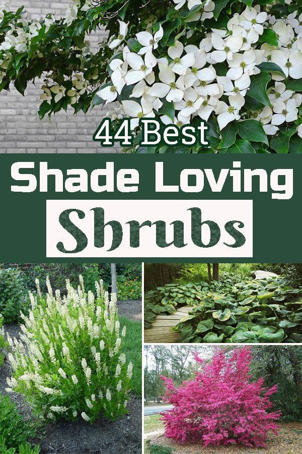 44 Best Shade Loving Shrubs Shade Loving Shrubs Shade Landscaping Shade Garden Plants