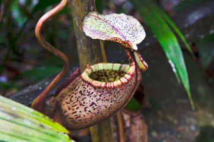 Hanging pitcher plant  Google Image Result for http://files.idealhomegarden.com/files/commons/pitcher_plant_weird_plants_around_the_world.jpg