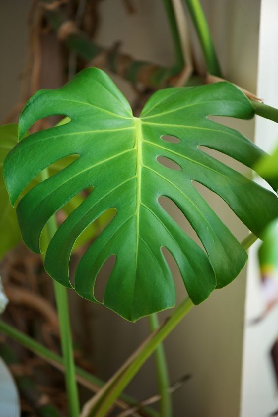 Monstera Deliciosa Care  Light: A fairly bright room or bright with plenty of shade is best. Direct sunlight will damage the leaves and not enough light can slow growth down.  Watering:	Between watering times allow the soil to become dry to the touch within the top couple of inches or so of soil.  Soil:	A peat based potting soil mix with perlite or sand is ideal. Soil that drains well is needed.