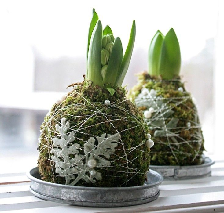 Wrapped in moss and wire, hyacinth bulbs look like tabletop pets. From Gardenista