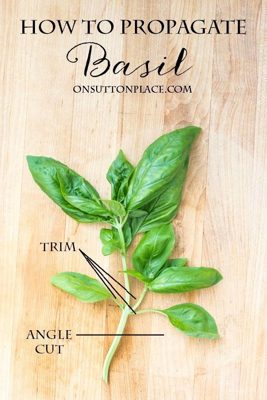 how to grow, propagate, chop & freeze this versatile herb. Basil is one of those plants that grows almost anywhere and needs minimal care. It was the very first herb I ever planted and has been part of my herb garden ever since.