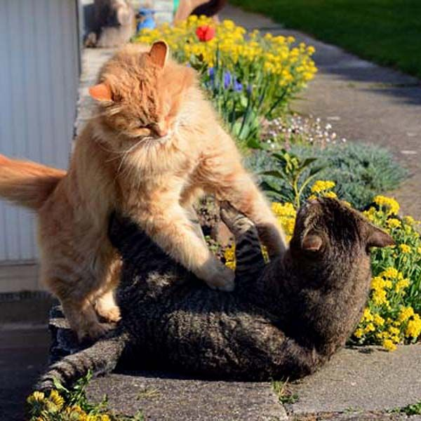 There are ways to stop a cat fight without risking being bitten; find out how to prevent cats from fighting, and what to do if a fight starts.