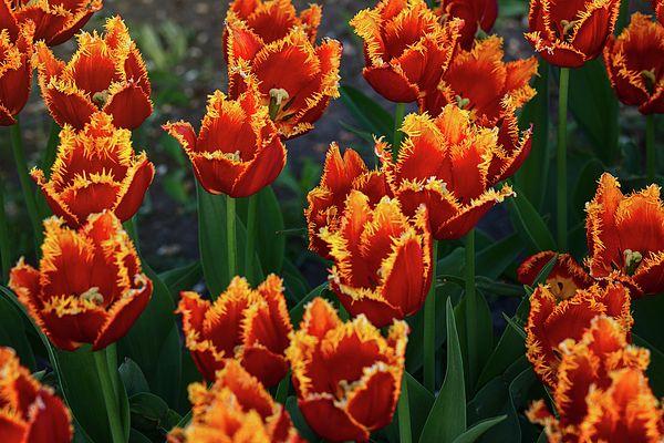Spring Tulips by Alexander Cherevan  #AlexanderCherevanFineArtPhotography #ArtForHome #FineArtPrints #tulips #spring