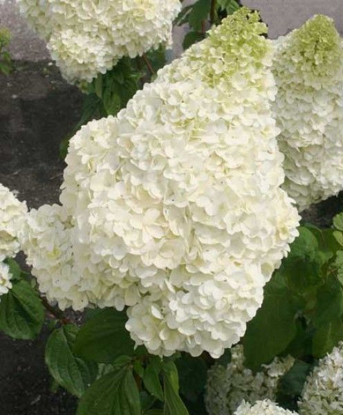 602 best images about hydrangeas on pinterest white. Black Bedroom Furniture Sets. Home Design Ideas