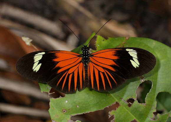 Butterflies of Amazonia - Heliconius erato