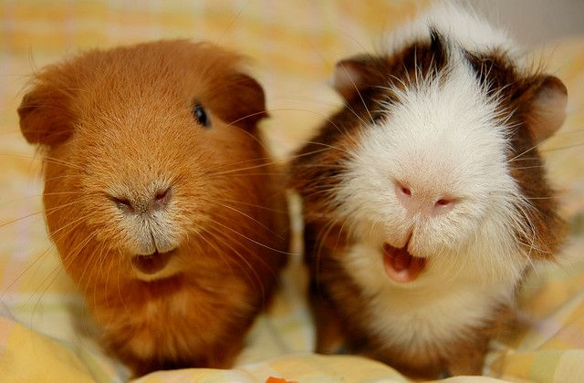 smiley piggies! :D :D  Singing cavys? by HeliOja, via Flickr