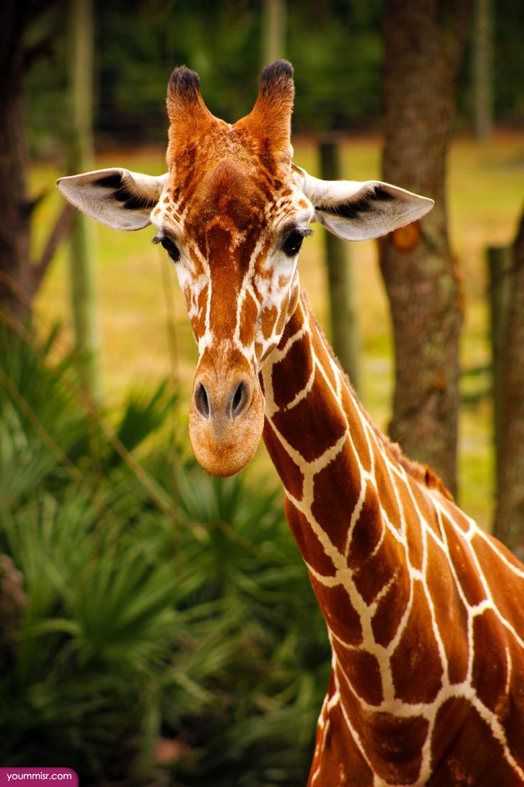 Best 25+ Giraffe facts ideas on Pinterest | Fun facts