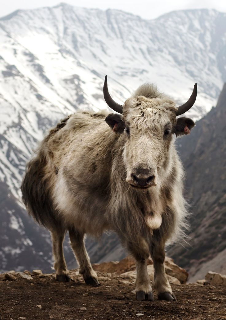 Yak (Bos grunniens) at Letdar on the Annapurna Circuit in the Annapurna mountain range of central Nepal  