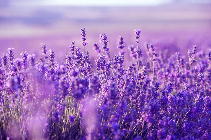 The healing powers of #lavender