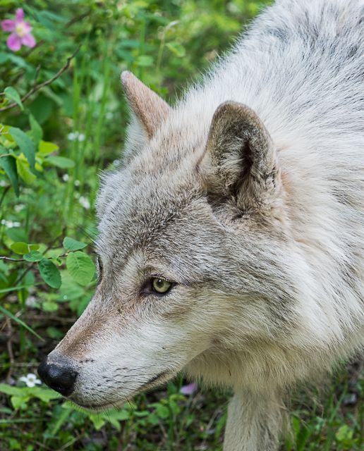 Wolf up close