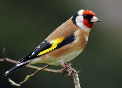 European Goldfinch by Philippe Garcelon