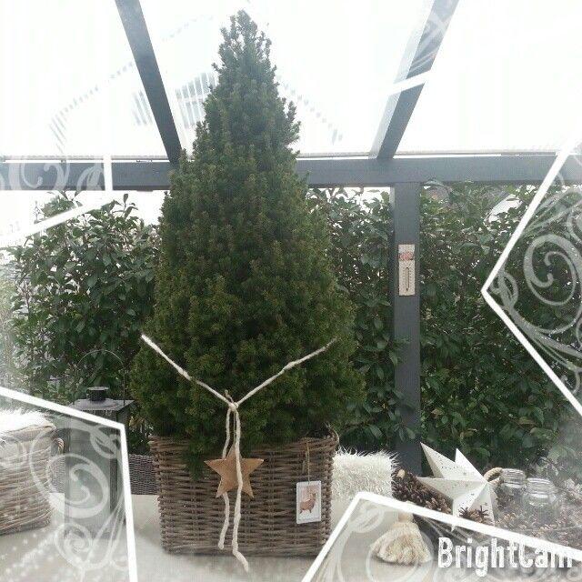 Zuckerhutfichte/Weihnachtsbaum im Korb X-Mas Tree in a bascet