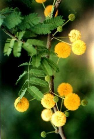 Γαζία [Acacia farnesiana] - Sweet Acacia
