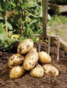 Growing potatoes. Site also has article about growing potatoes in sacks, if dirt plot is unavailable.