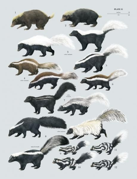 Mephitidae (Skunks). Genetic variability. Skunk remains a skunk, but variations occur in size, color pattern, tails, etc.