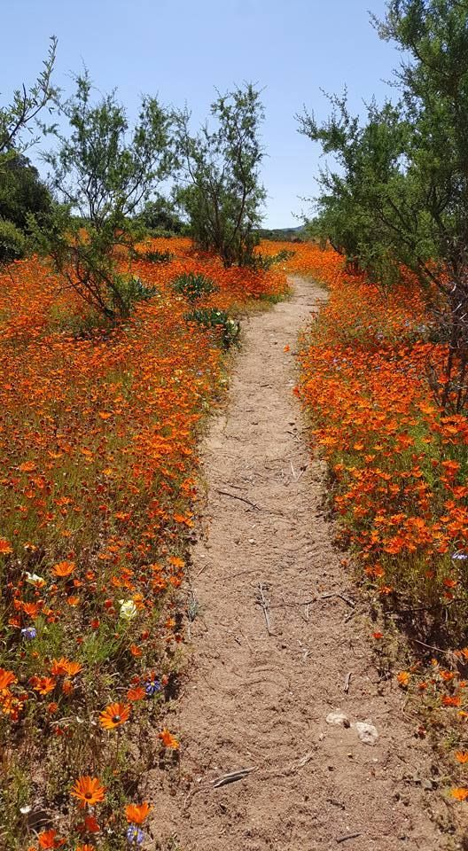 Namaqua Daisies, growing wild on the farms in the WesternCape   South Africa  Unknown Photographer