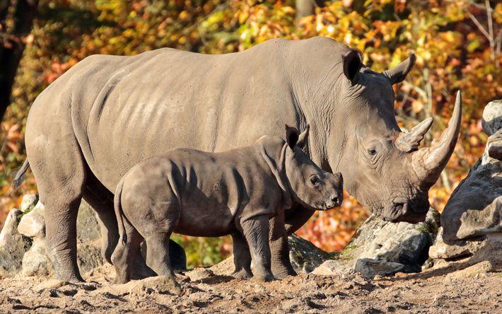 Télécharger fonds d'écran les rhinocéros, de la faune, de l'afrique, soirée, coucher du soleil, rhino bébé, famille