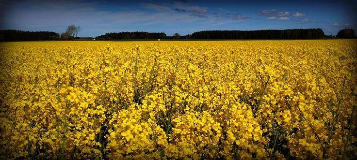 Fields of gold by susannemkarlsson
